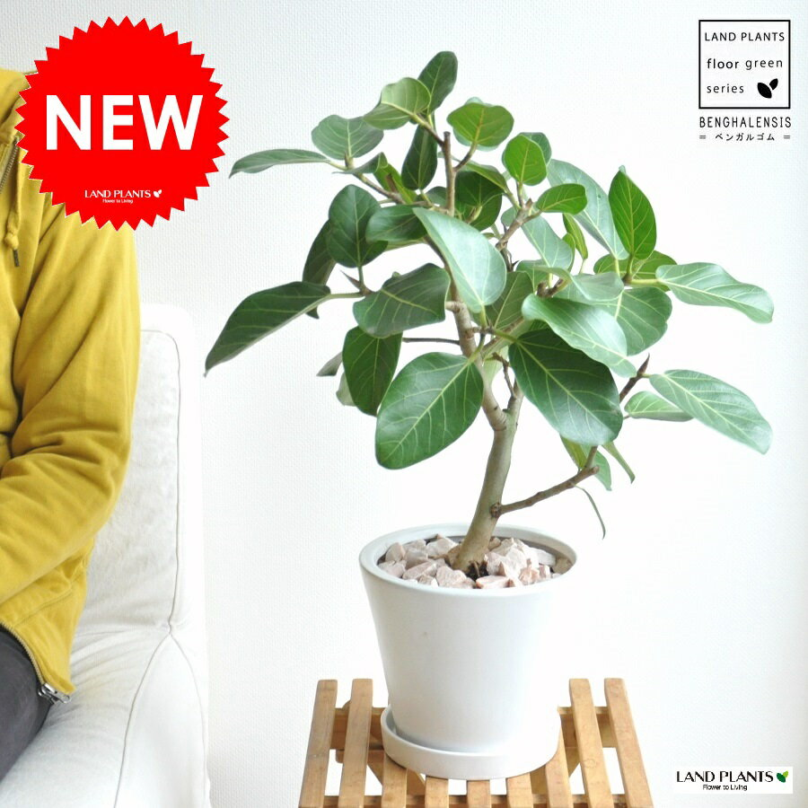 New!! ベンガルゴム白色デザイン陶器鉢に植えた 大きな葉の植物 ベンガレンシス ゴム ゴムの木 敬老の日 ポイント消化 観葉植物