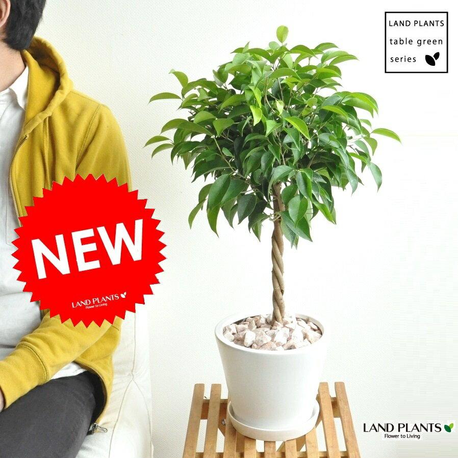 new!! ベンジャミン 大人気のトピアリー仕立て 白色デザイン陶器に植えたフィカス・ベンジャミナ ゴム ゴムの木 敬老の日 ポイント消化 観葉植物