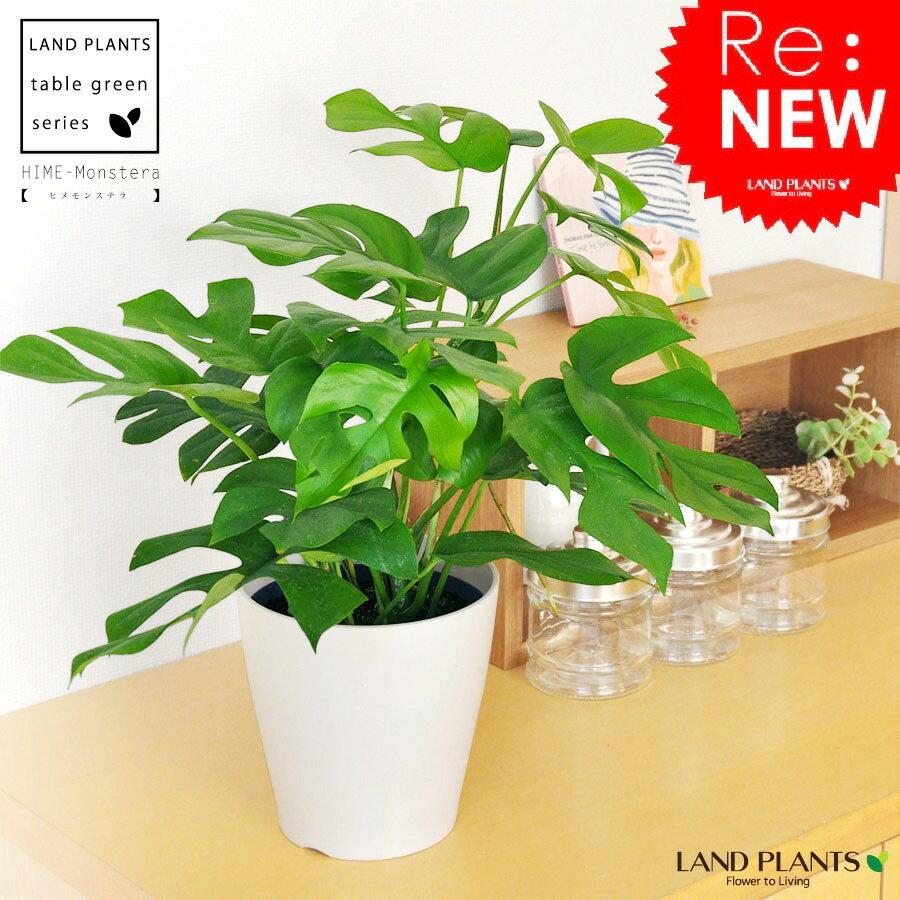 ボリューム満点! ヒメモンステラ 卓上サイズ・葉の形がとっても かわいい ミニモンステラ 5号サイズ アダンソニー・ペルツーサ・ホウライショウ属・デリシオサ・デリシオーサ 敬老の日 ポイント消化 観葉植物