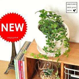 シュガーバイン 白色 丸型 陶器鉢 (黄色小石) 5枚葉の美しい植物 パルテノシッサス 敬老の日 ポイント消化 観葉植物 送料無料