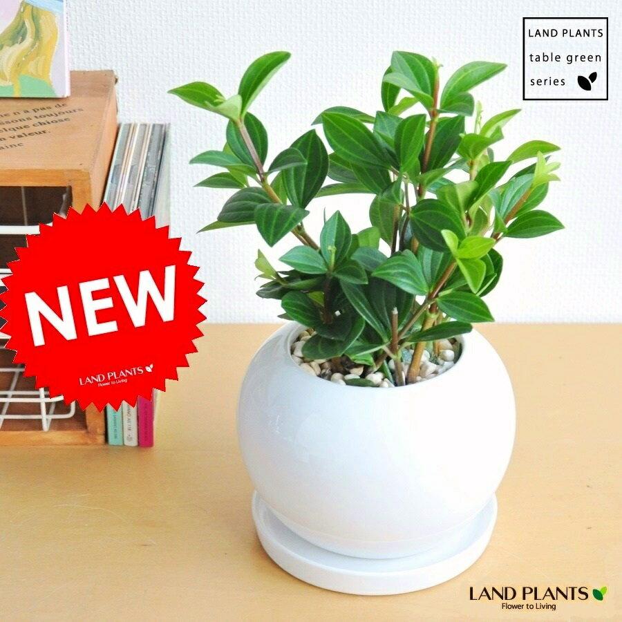 おすすめ!! ペペロミア フォレット 白色丸型陶器に植えた 多肉質の植物 敬老の日 ポイント消化 観葉植物