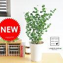 【 観葉植物 】【TVでも紹介された品種】 ベンジャミン・バロック 5号サイズtable green series フィカス・ベンジ…