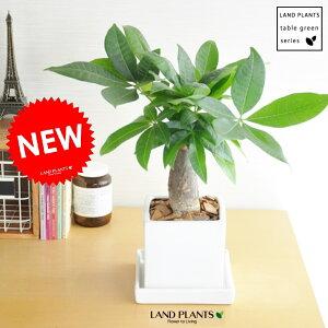 パキラ(幹太タイプ) 白色 キューブ型 陶器鉢 鉢植え 鉢 苗 苗木 観葉植物 白 ホワイト 角 スクエア 陶器 陶器鉢