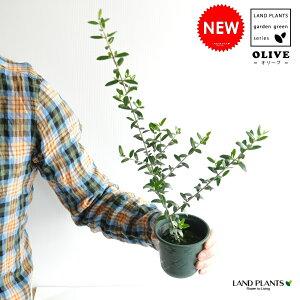 【お試し】 スラリと伸びた オリーブ苗 3.5号サイズ 鉢カバーセット オリーブ 苗 苗木 鉢植え 敬老の日 ポイント消化 観葉植物