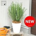 new!! ローズマリー 8号 白色セラアート鉢に植えた ハーブ 立性ローズマリー 割れない【楽ギフ_のし】【楽ギフ_…