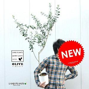 オリーブ苗木 6号サイズ 白色鉢カバーセット オリーブ オリーブの木 オリーブ苗 苗 苗木 鉢植え 敬老の日 ポイント消化 観葉植物