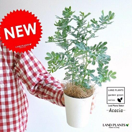 ミモザ・アカシア 4号サイズ 苗から育てよう♪ 鉢植え 鉢 苗 苗木 鉢苗 庭木 白 ホワイト 観葉植物 寄せ植え イタリア