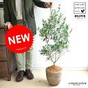 【バルコニスト 推奨item】 NEW!! オリーブ デザインの良いテラコッタ鉢に植えた オリーブの木 鉢植えオリーブ 結婚式で両親へのプレゼント 結婚式の記念...