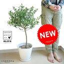 new!! オリーブ トピアリー仕立て 白色マットポットに植えた オリーブの木 鉢植えオリーブ 【楽ギフ_メッセ】【…