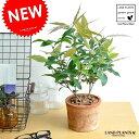 NEW!! レモンマートル モスポット鉢に植えた シトラール シリンダー型 テラコッタ鉢植えレモンマートルの木 MOS…