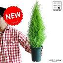 Re:new!! H約45cm 苗木 ゴールドクレスト 4号 コニファー 成長速度の速い植物 寄せ植えや、お庭のシンボルツリーに! ウィルマ クリスマスツリー ...