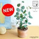 NEW!! ユーカリ・ポポラス モスポット鉢に植えた ユーカリプタス シリンダー型 テラコッタ鉢 フトモモ シルバ…