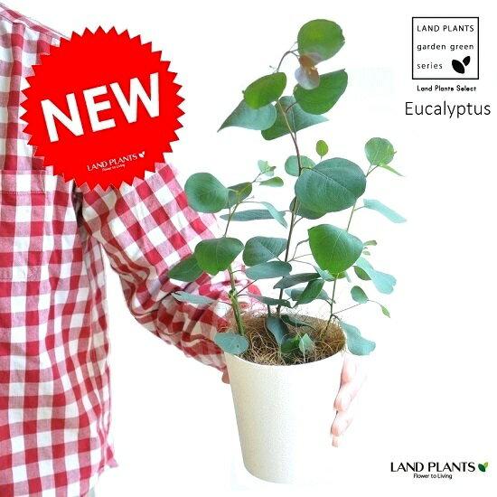【お試しサイズ】 NEW!! ユーカリ・ポポラス 4号サイズ 苗から育てよう♪ ユーカリプタス フトモモ シルバーダラー 鉢植え 敬老の日 ポイント消化 観葉植物