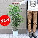 【 庭木 】【オススメ】 シマトネリコ 7号サイズ 白色プラスチック鉢 トネリコ苗 鉢植え 株立ち シマトリネコ…