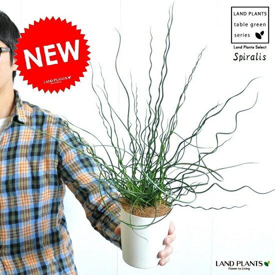 【お試しサイズ】 NEW!! ラセンイ 白色プラスチック鉢セット 4号サイズ イグサ 螺旋藺 ラセンイソウスパイラル 【父の日ギフト】 ユンカス ジャンカス スピラリス Juncus effusus 'Spiralis' バルコニスト 畳表(たたみおもて)