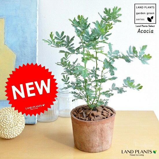 ミモザ・アカシア モスポット鉢に植えた ギンヨウアカシア シリンダー型 テラコッタ鉢 苗から育てよう♪ 黄色の花をつける ハナアカシア 鉢植え オジギソウ 銀葉アカシア ギンバアカシア ミモザアカシア アカシアの木 3月8日はミモザの日