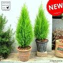 【2鉢セット】 ゴールドクレスト 茶色×灰色 テラコッタ鉢 コニファー 鉢植え MOSS POT コニファ 成長速度の…
