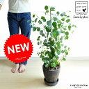 NEW!! ユーカリ ポポラス 黒色エッグ鉢に植えた ユーカリの木 ユーカリプタス・フトモモ・Eucalyptus・鉢・鉢植え・苗・・・・