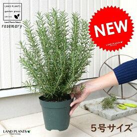 ローズマリー 5号 苗ポット 鉢植え ハーブ 立性 苗 苗木 ローズマリ