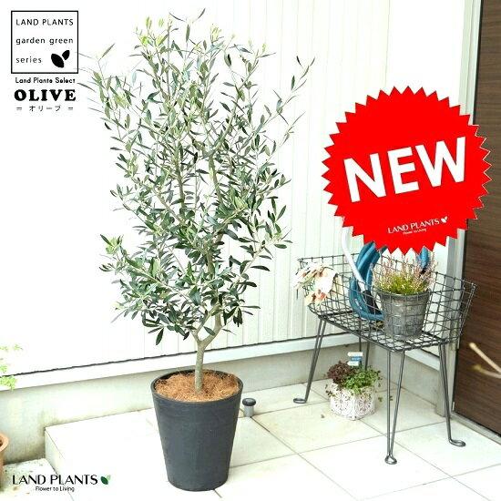 オリーブ 8号 (黒色) セラアート鉢 鉢植え オリーブの木 苗 苗木 鉢 黒 ブラック プラスチック 大型 ココヤシファイバー 観葉植物