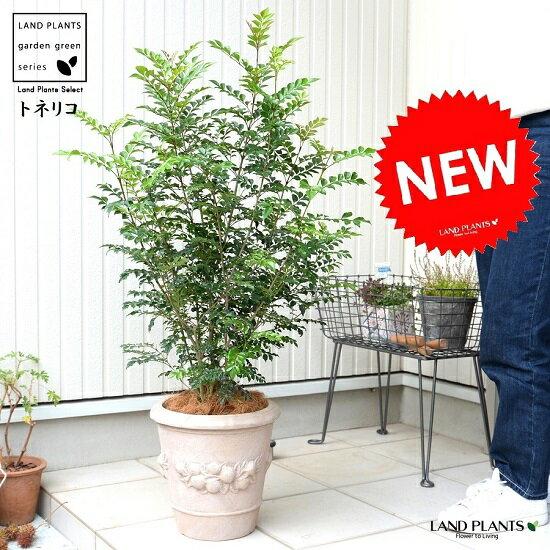 シマトネリコ (木の実柄) 高級 テラコッタ 鉢植え 株立ち トネリコ 素焼 陶器鉢 鉢 茶色 茶 こげ茶 ベージュ 苗 苗木 大型 8号 メコン 観葉植物