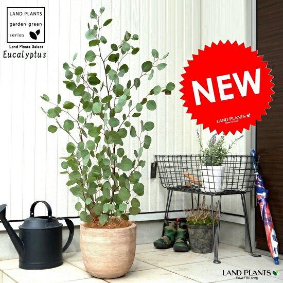 ユーカリ (ポポラス) デザインの良い テラコッタ 鉢植え 大型 ポリアンセモス フトモモ 素焼 鉢 苗 苗木 茶 茶色 ベージュ 観葉植物 丸 ハートの葉