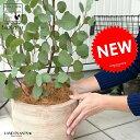 丸葉 ユーカリ (ポポラス) デザインの良い テラコッタ 鉢植え 大型 ポリアンセモス シルバーリーフ フトモモ 素焼 …