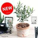 オリーブ (茶色)モスポット シリンダー型 テラコッタ 植木鉢 オリーブの木 苗 苗木 鉢 植木 素焼 観葉植物 庭木 挙…