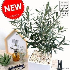 オリーブの木 中型 キューブ 陶器鉢 Mサイズ (白色) 植木鉢 オリーブ 苗 苗木 鉢 植木 観葉植物 庭木 挙式用 結婚式 白 ホワイト スクエア 四角 正方形