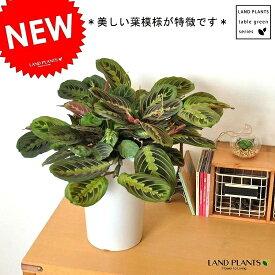 Re:NEW!! カラテア・マランタ 白色鉢カバーセット 美しい葉の植物 マランタエリトロネウラ 7号サイズ 受け皿付き 敬老の日 ポイント消化 観葉植物