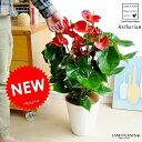 NEW!! アンスリューム × 白セラアート鉢植え 真赤な花付き観葉植物 アンスリウム アンス 母の日【母の日ギフ…