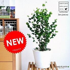 ベンジャミン(バロック) 白色 中型ラウンド 陶器鉢 フィカス・ベンジャミナ ベンジャミンバロック 敬老の日 ポイント消化 観葉植物