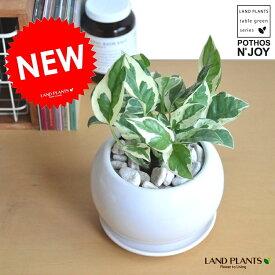 ポトス・エンジョイ 上品な発色の新品種 白色丸型陶器に植えた  ポトスエンジョイ 斑入りポトス 敬老の日 ポイント消化 観葉植物