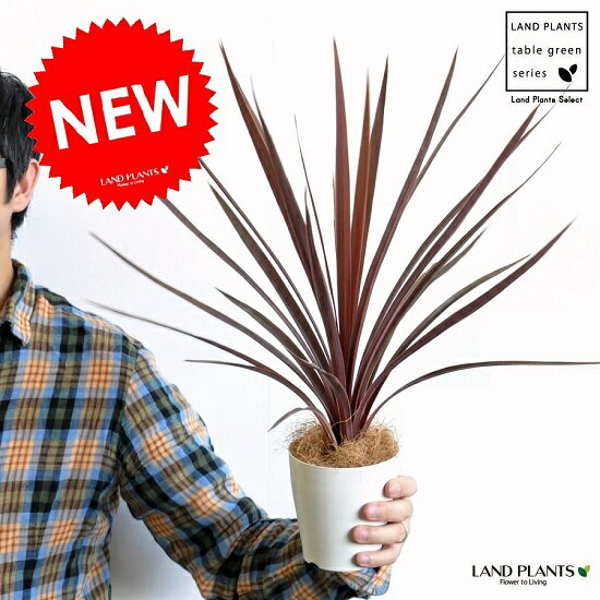 【お試しサイズ】 NEW!! コルディリネ/レッドスター 白色プラスチック鉢セット 4号サイズ インディビサ・赤ドラセナ・コルジリネ・カラーリーフ・パープルタワー アカドラセナ・リュウゼツラン・バルコニスト・オーストラリス