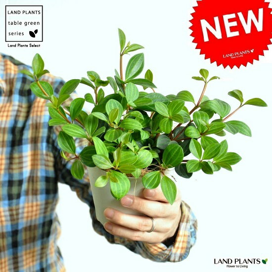 NEW!! ペペロミア・フォレット 白色プラスチック鉢セット 4号サイズ 多肉質の植物 コショウ サダソウ【父の日ギフト】 敬老の日 ポイント消化 観葉植物