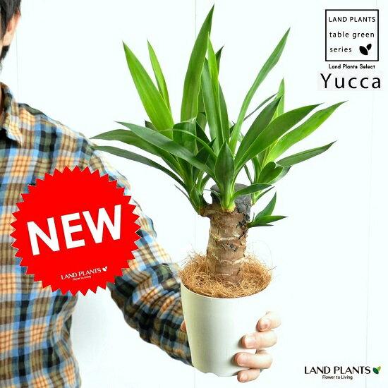 【お試しサイズ】 NEW!! 青年の樹 ドラセナ・ユッカ 白色プラスチック鉢セット 4号サイズ 観葉植物の代表です♪ ギフトに最適ITEMを♪ リュウゼツラン ドラセナユッカ【父の日ギフト】 敬老の日 ポイント消化 観葉植物