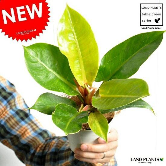 【お試しサイズ】 NEW!! フィロデンドロン・インペリアルゴールド 白色プラスチック鉢セット 4号サイズ 黄緑色の美しい葉♪ ギフトに最適ITEMを♪ Philodendron【父の日ギフト】 敬老の日 ポイント消化 観葉植物