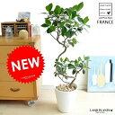 フランスゴム(3Dカーブ曲がり) 白色 セラアート鉢 8号 茶石 ゴムの木 フィカス・ルビキノーサ ゴム フランスゴム…