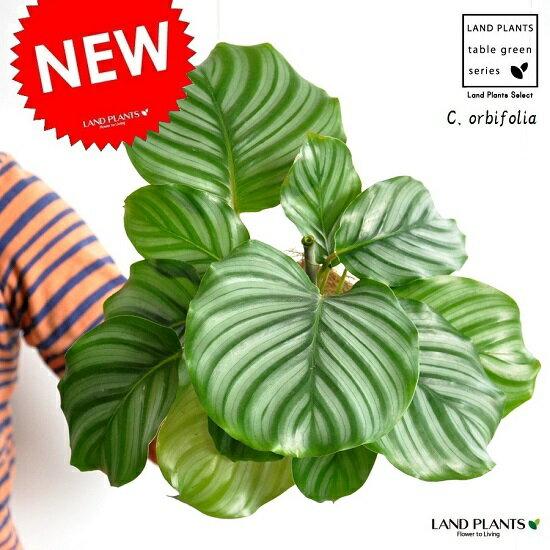 【お試しサイズ】 カラテア オルビフォリア 白色プラスチック鉢セット 4号サイズ Calathea orbifolia クズウコン 敬老の日 ポイント消化 観葉植物