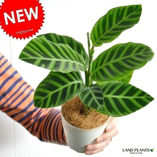 【お試しサイズ】 NEW!! カラテア ゼブリナ 白色プラスチック鉢セット 4号サイズ カラテアゼブリナ Calathea zebrina クズウコン 敬老の日 ポイント消化 観葉植物