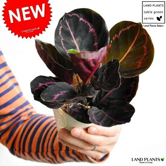 【お試しサイズ】 NEW!! カラテア ドッティ 白色プラスチック鉢セット 4号サイズ ドッティー ビッティ Calathea orbifolia クズウコン 敬老の日 ポイント消化 観葉植物