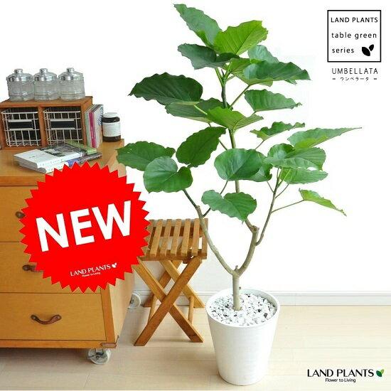 ウンベラータ 割れない 白色 セラアート 8号鉢 大型 観葉植物 セラアート 【ギフト配送可】