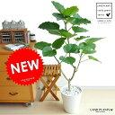 Re:NEW!! ハートリーフ ウンベラータ 上質なプラ鉢に植えた フィカス・ウンベラータ 美しい樹形♪ 白セラアート…