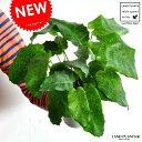 【お試しサイズ】 NEW!! カラテア ムサイカ(モザイク) 白色プラスチック鉢セット 4号サイズ  Calathea musai…