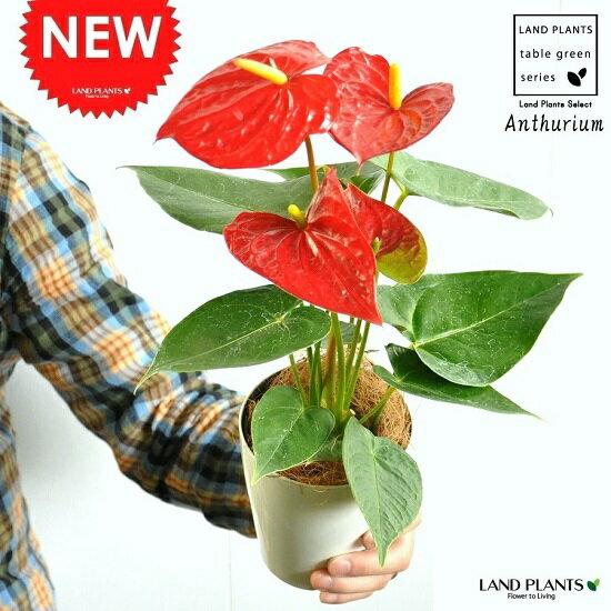 【お試しサイズ】 NEW!! アンスリューム 真赤な花付き 白色プラスチック鉢セット 4号サイズ アンスリウム アンス 母の日ギフト 父の日ギフト オオベニウチワ 敬老の日 ポイント消化 観葉植物