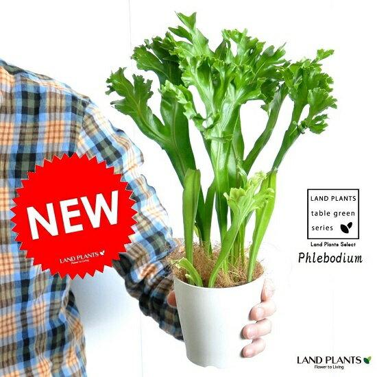 【お試しサイズ】 NEW!! ポリポジウム 白色鉢カバーセット 4号 卓上サイズ  コウモリラン 敬老の日 ポイント消化 観葉植物