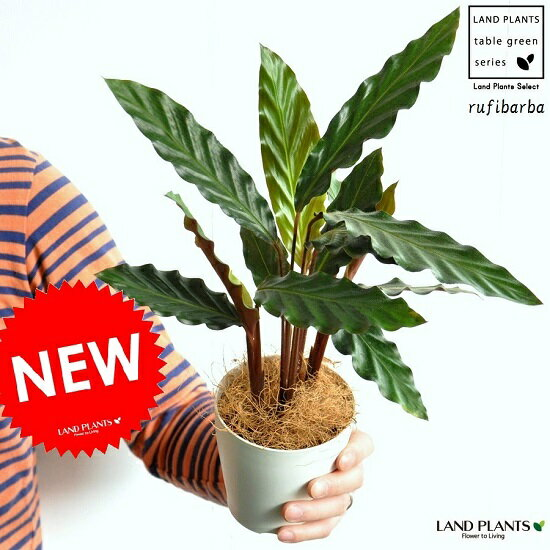 【お試しサイズ】 NEW!! カラテア ルフィバルバ 白色プラスチック鉢セット 4号サイズ カラテアルフィバルバ Calathea rufibarba クズウコン 敬老の日 ポイント消化 観葉植物
