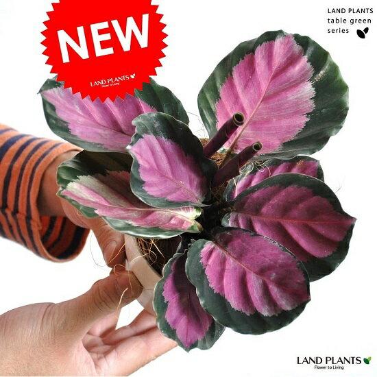 【お試しサイズ】 NEW!! カラテア ロセオピクタ ロージー 白色プラスチック鉢セット 4号サイズ カラテアロージー Calathea クズウコン 敬老の日 ポイント消化 観葉植物
