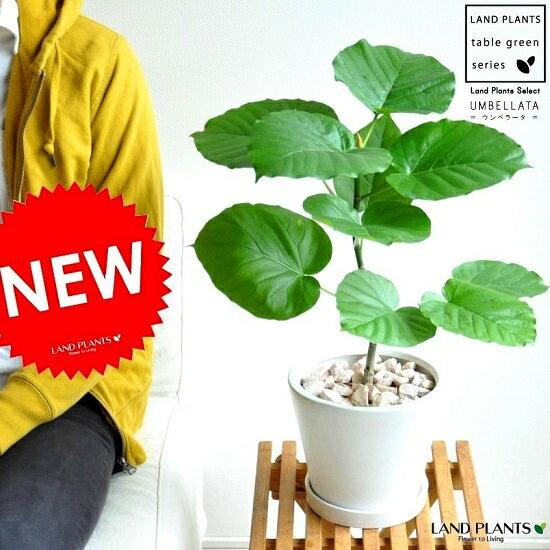 NEW!! ウンベラータ 白色デザイン陶器に植えた ハートリーフ フィカス・ウランベータ・ゴムノキ・ゴムの木・ウンベラーダ 敬老の日 ポイント消化 観葉植物