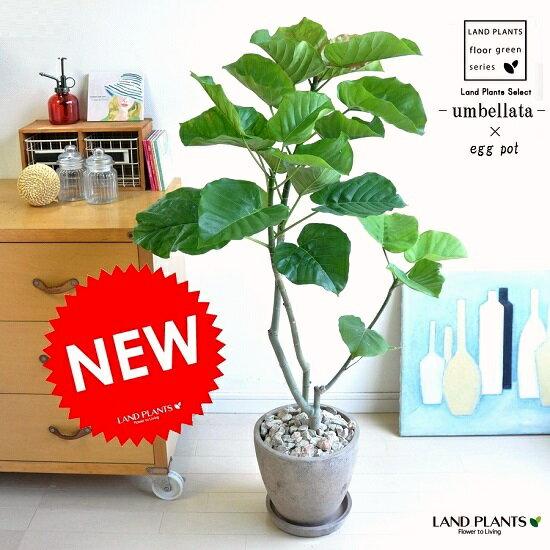 New!! ウンベラータ 茶色エッグポット H100程度 8号 【送料無料】【ギフト配送可】
